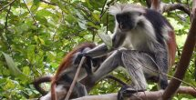 Red Colobus Monkies