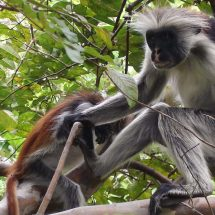 Red Colobus Jozani Forrest